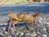 winkende Krabbe am Straßenrand