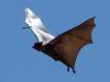 fliegender Flughund
